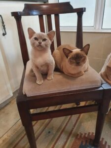 A Burmese kitten and cat sitting next to each other